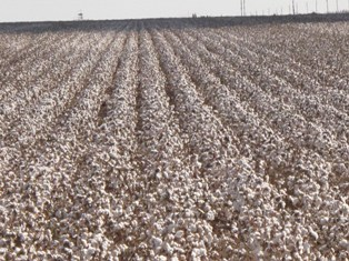 Composted Dry Land Cotton